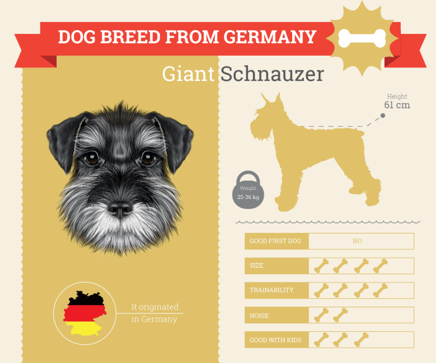 Giant Schnauzer dog breed information infographic