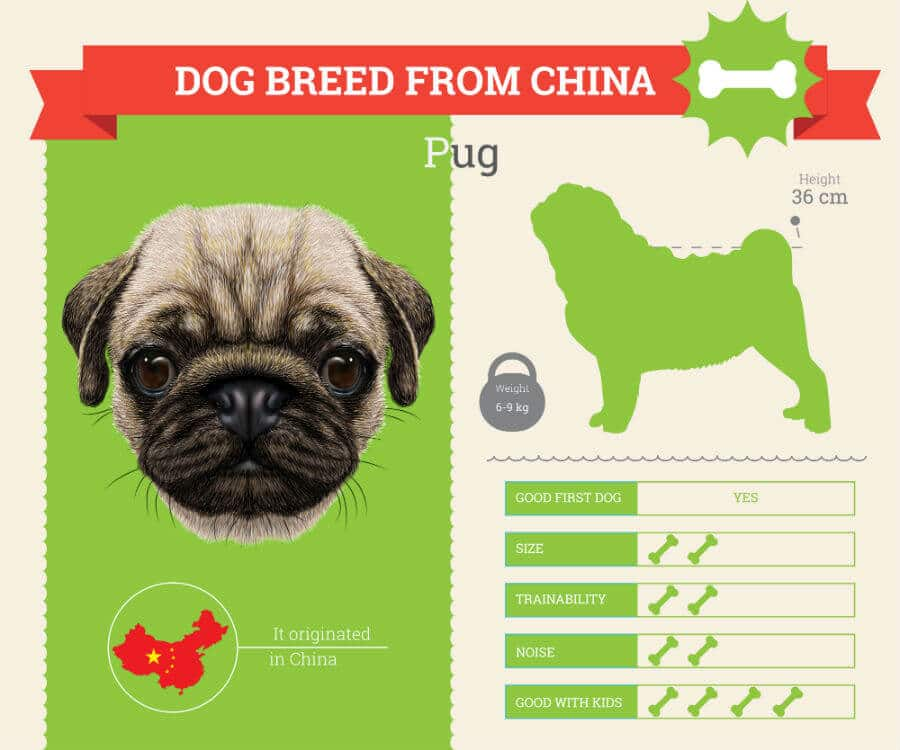 Pug dog breed information infographic