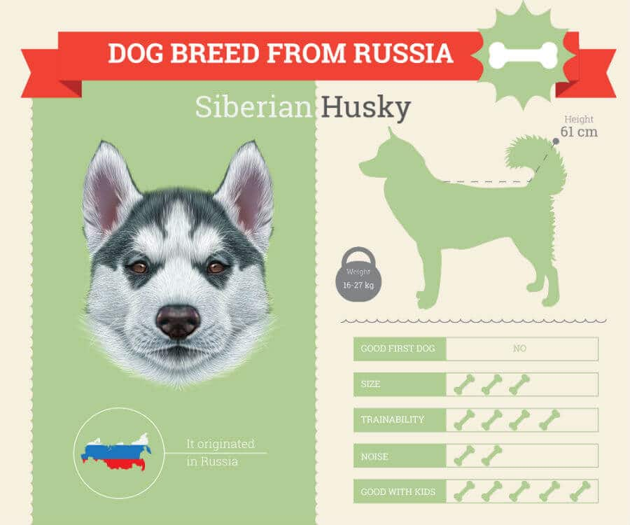 Siberian Husky Dog Breed Information [INFOGRAPHIC]