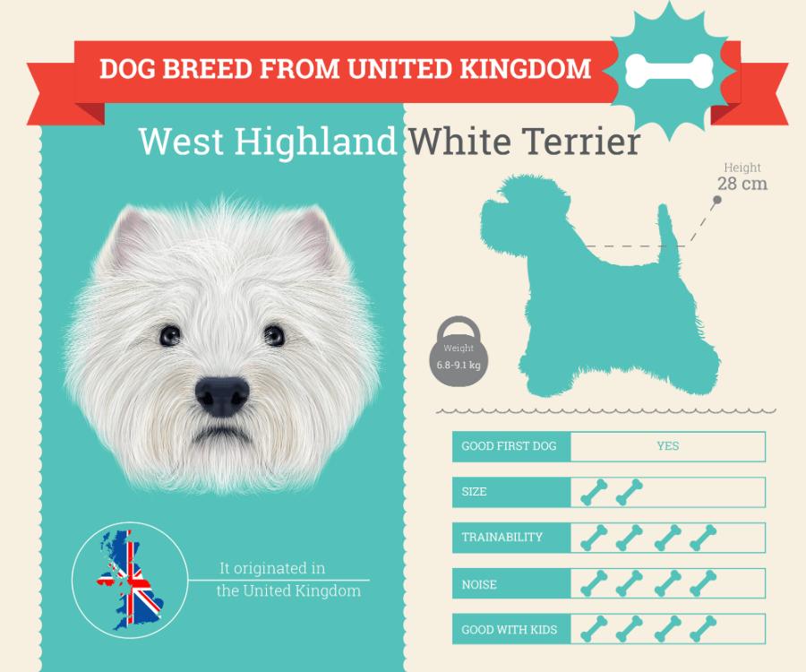 West Highland White Terrier (Westie) dog breed information infographic