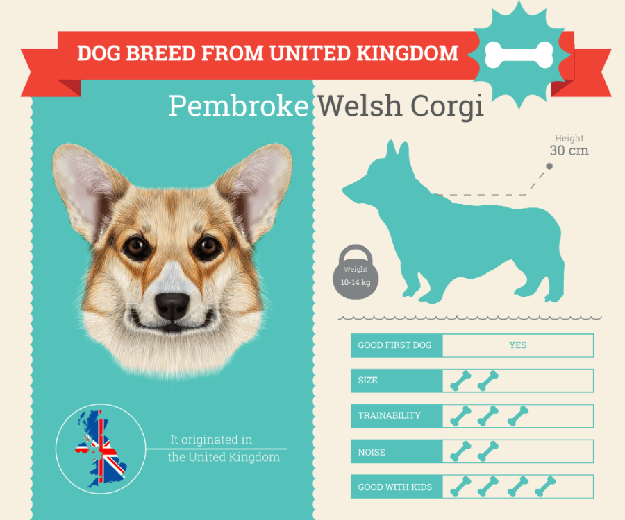 Pembroke Welsh Corgi dog breed information infographic