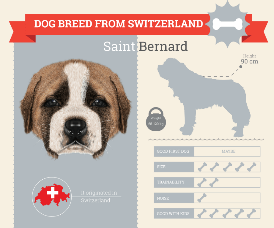 Saint Bernard dog breed information infographic