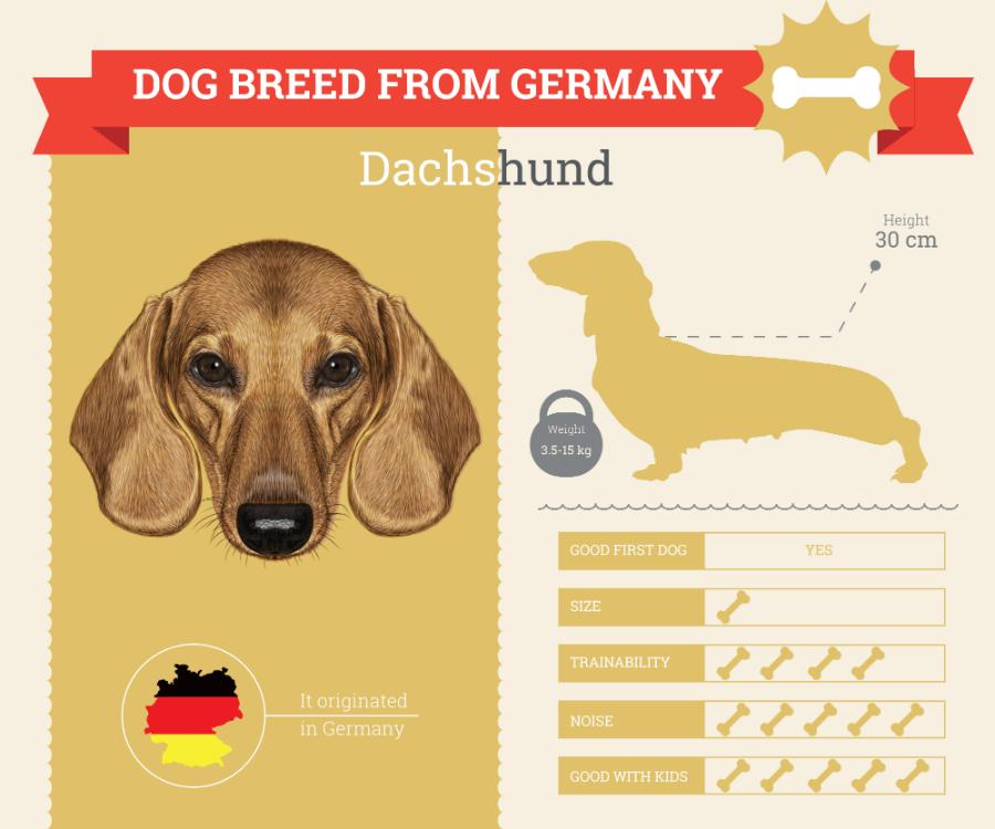 Dachshund dog breed information Infographic