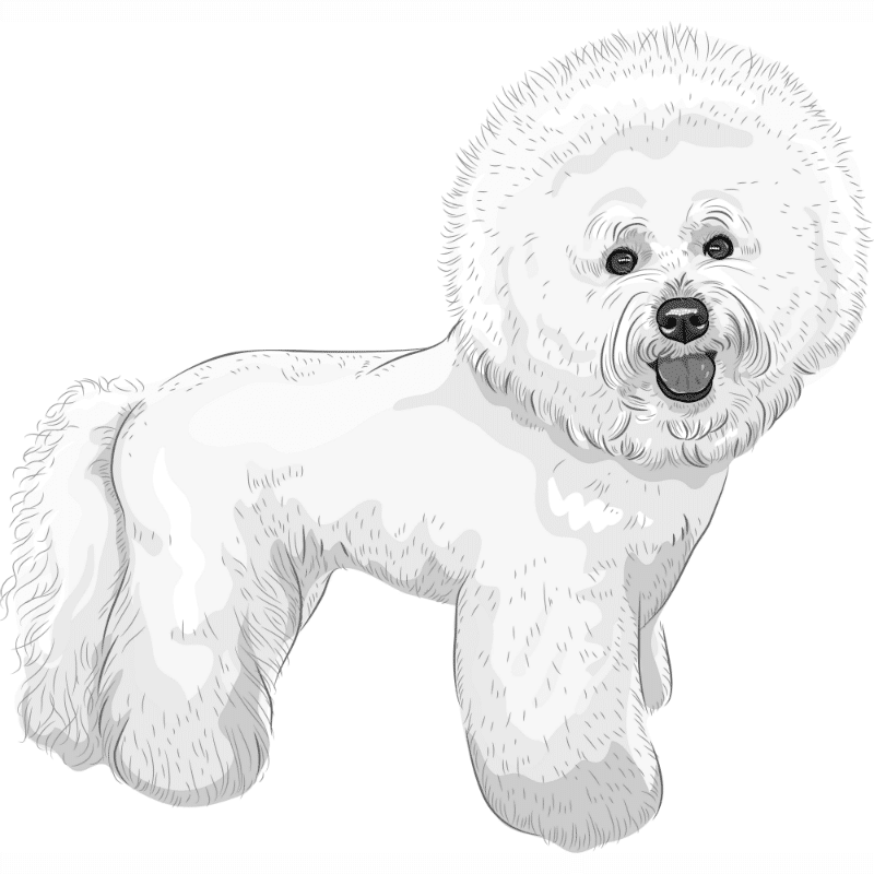 Bichon Frise dog breed drawing