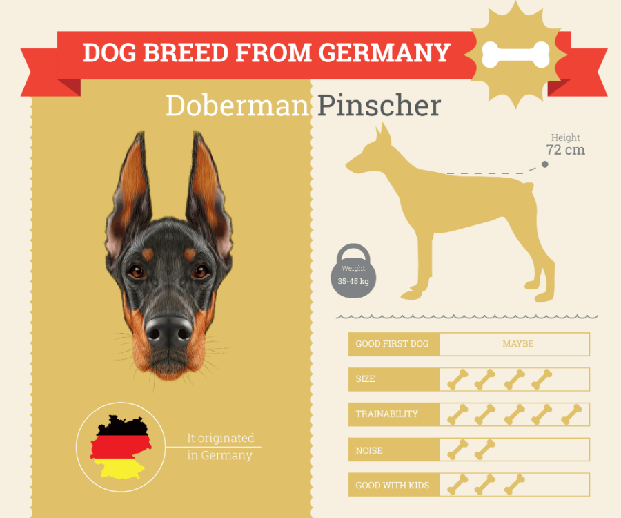 Doberman Pinscher Dog Breed Information infographic