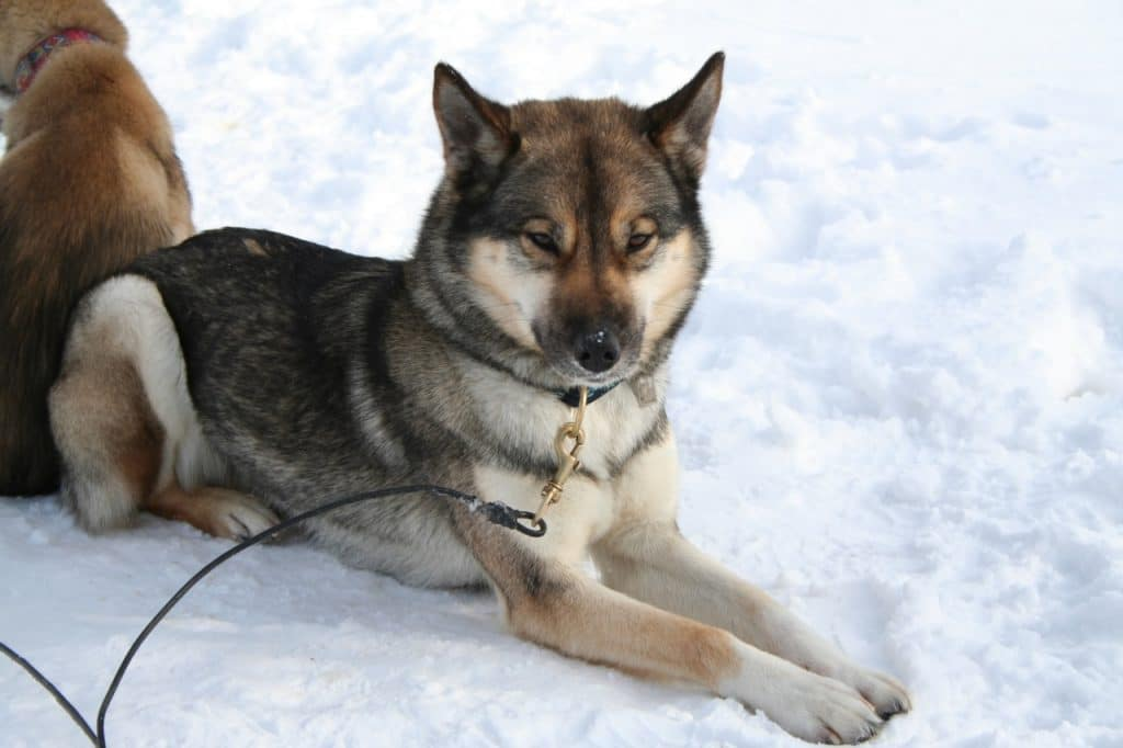what is an Agouti Husky?