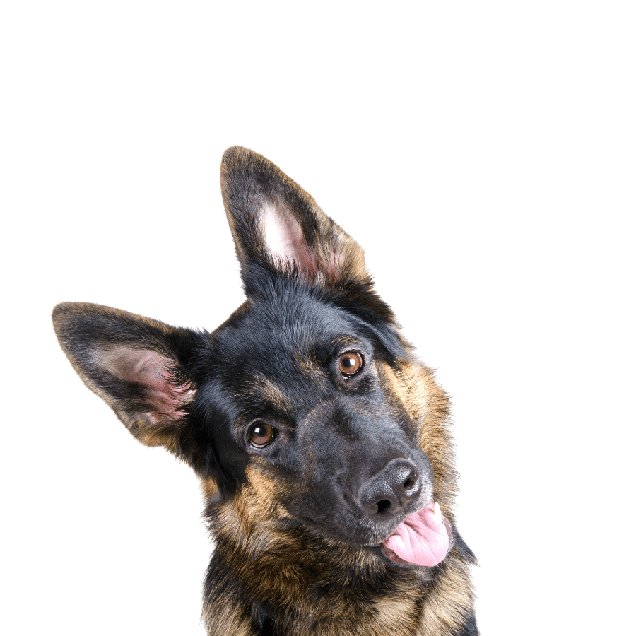 How Many Teeth Does A German Shepherd Have?