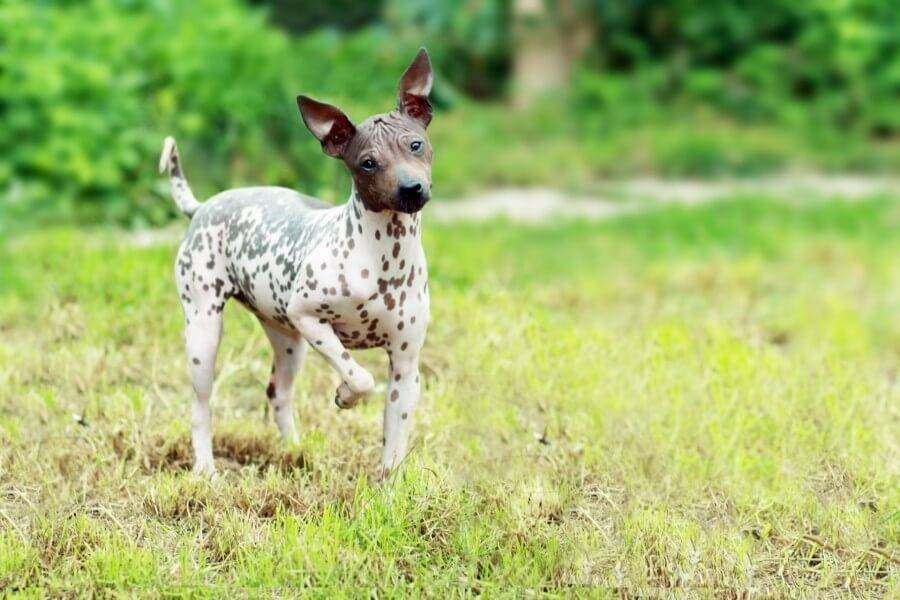 American Hairless Terriers are great for allergy sufferers