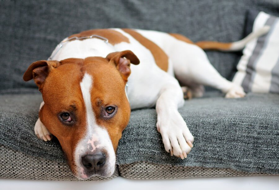 American Staffordshire Terrier apartment dog