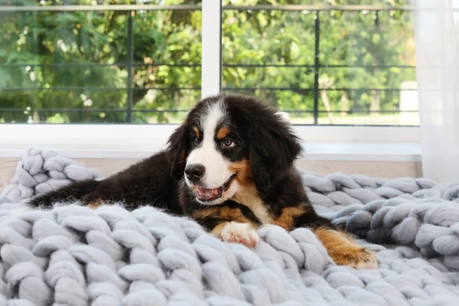 Bernese Mountain Dog