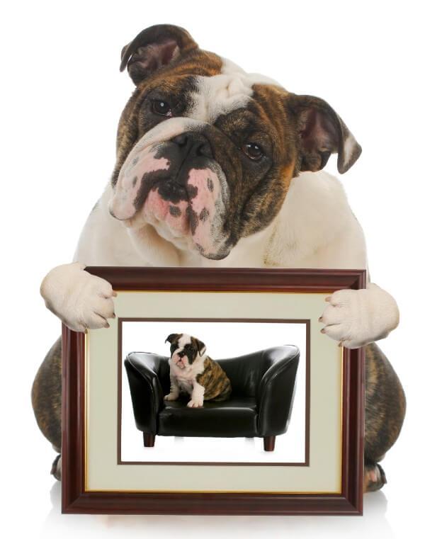 Sentimental Bulldog