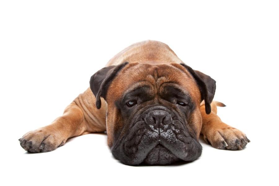 Bullmastiff apartment dog