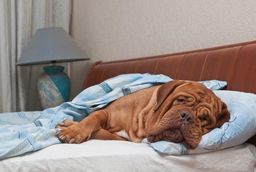 Dogue de Bordeaux apartment dog