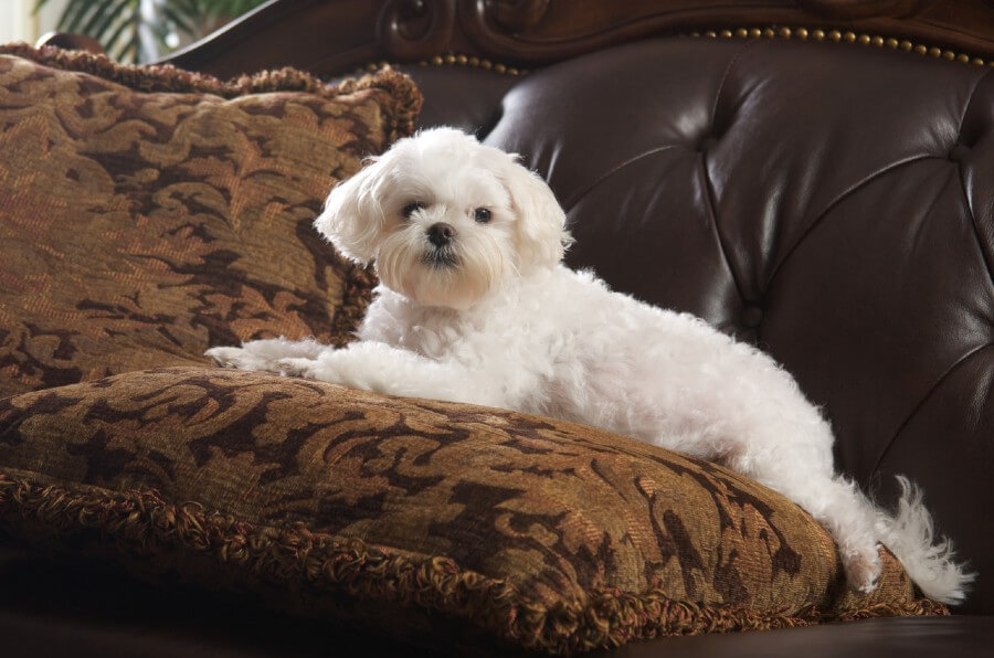 Maltese couch time
