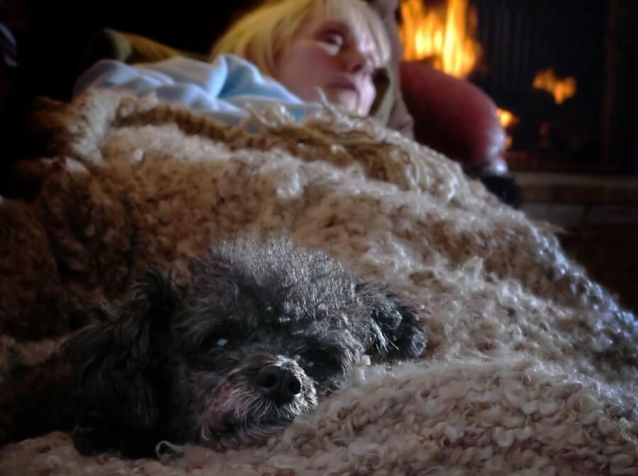 Poodle naptime