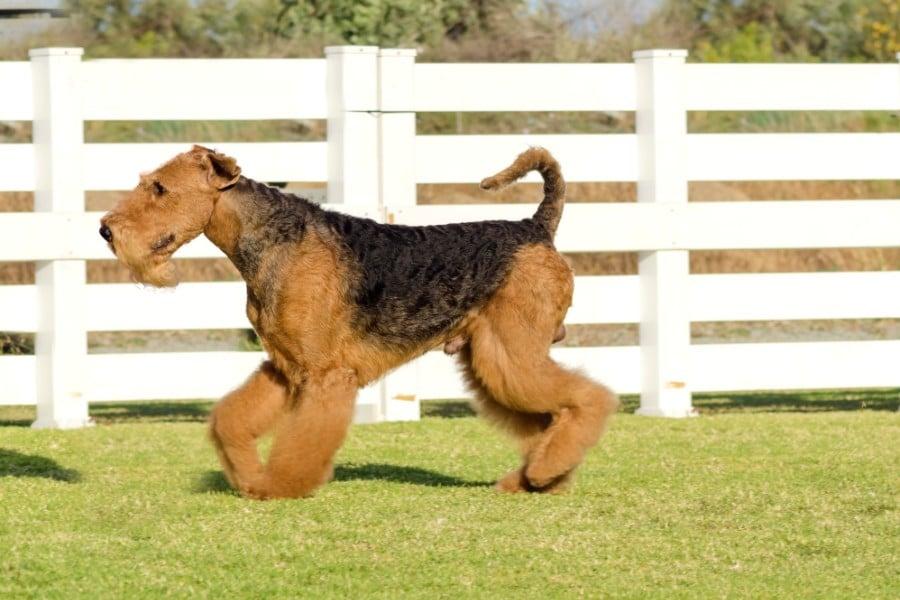 Airedale Terrier running partner