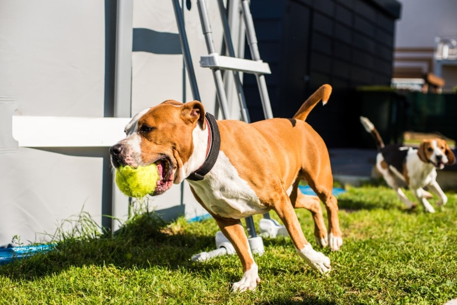 American Staffordshire Terrier running with a ball