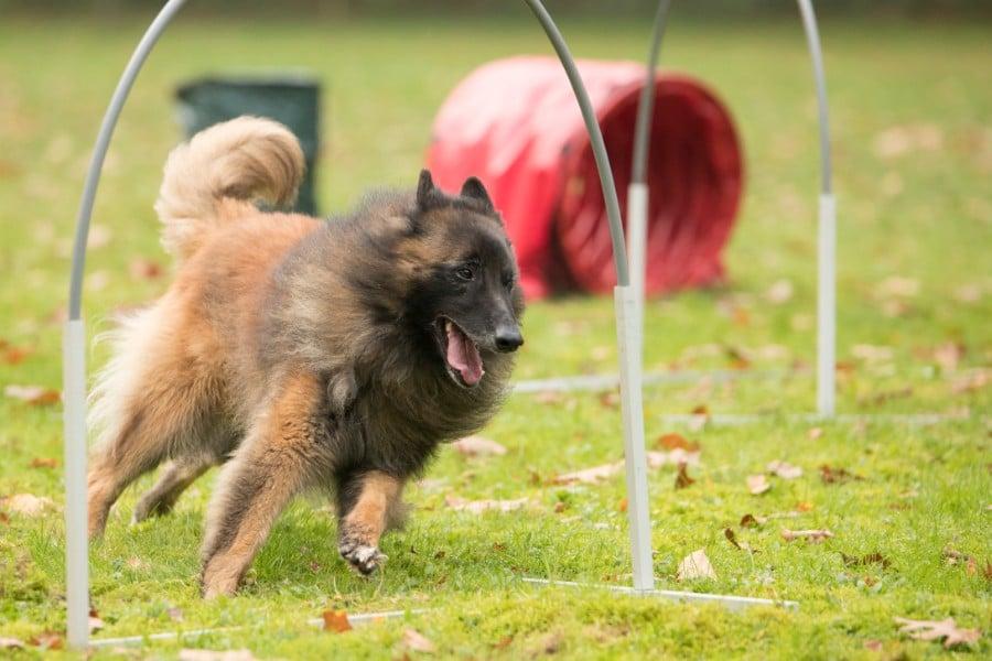 Belgian Shepherd running in competition