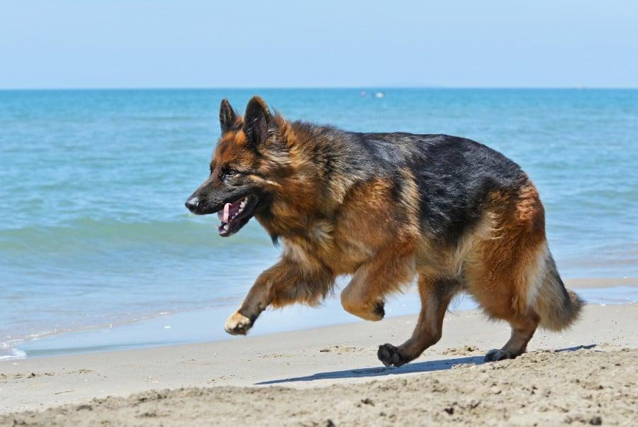 German Shepherd running on the beach