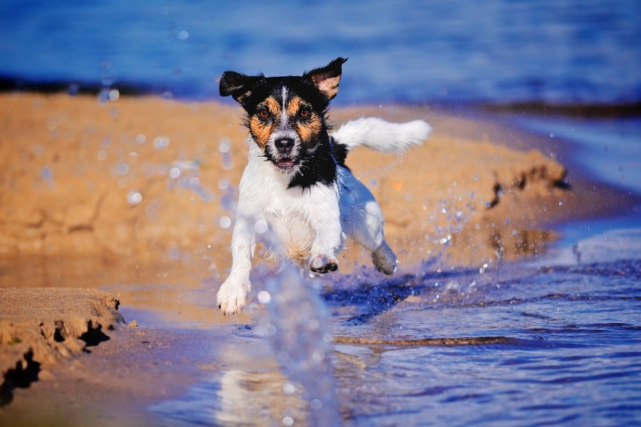 Jack Russell Terrier running in the sea