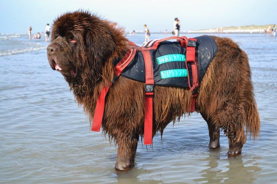 Newfoundland boating dog