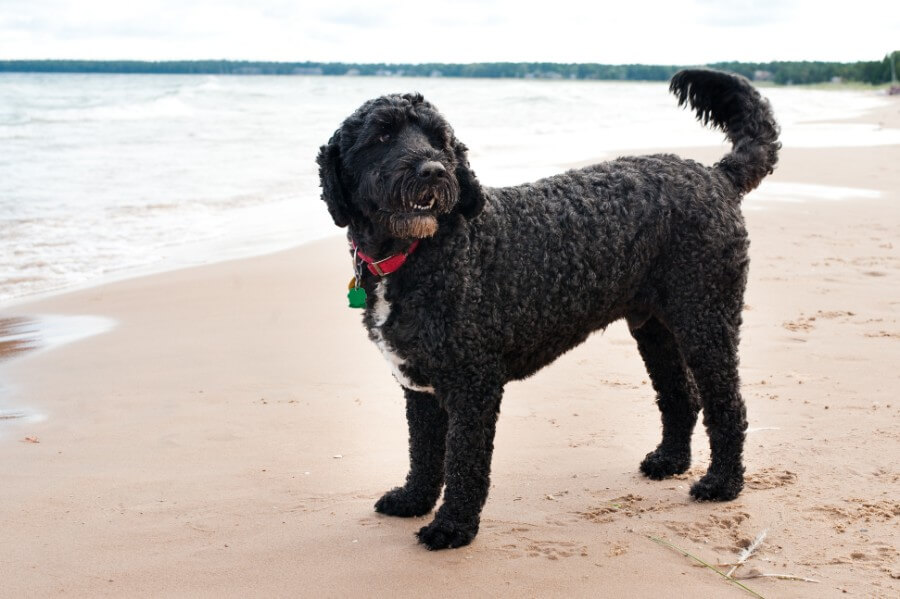 Portuguese Water Dog the boater