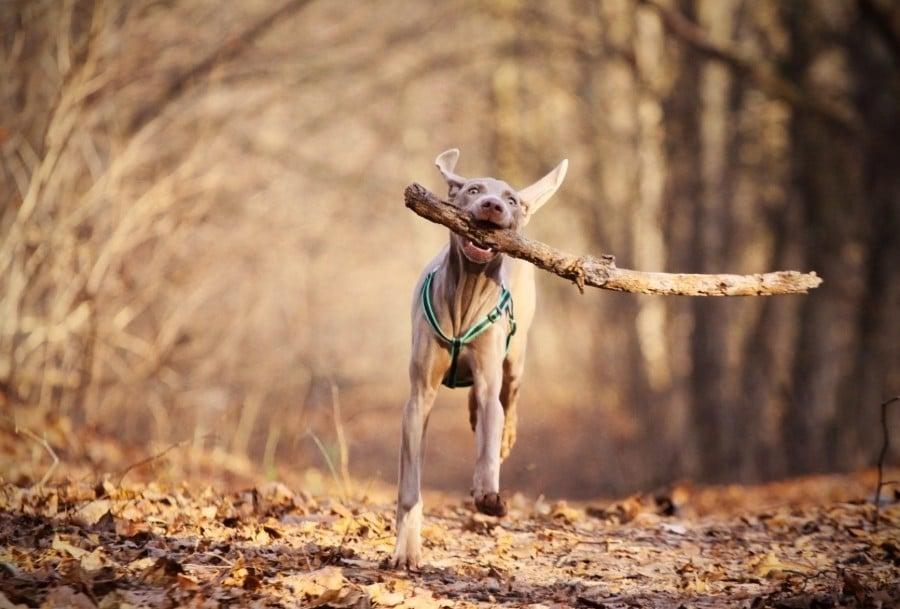 Weimaraner running with a stick