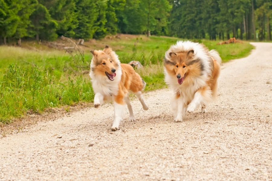 two running Collie dogs