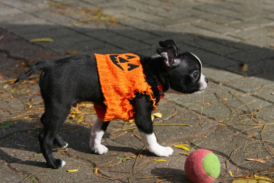 Boston Terrier with knitted pumpkin coat