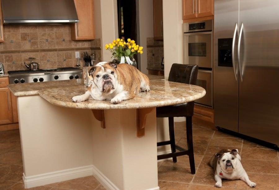 Bulldog on counter