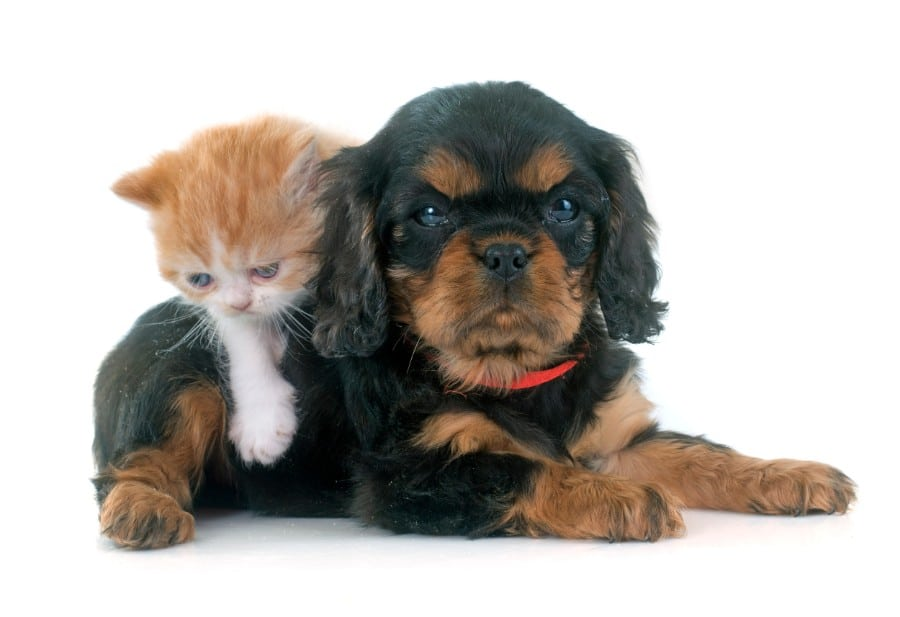 Cavalier King Charles puppy and cat