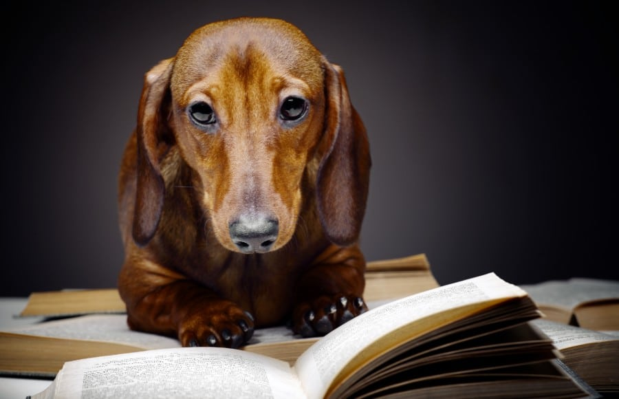 Dachshund hitting the college books