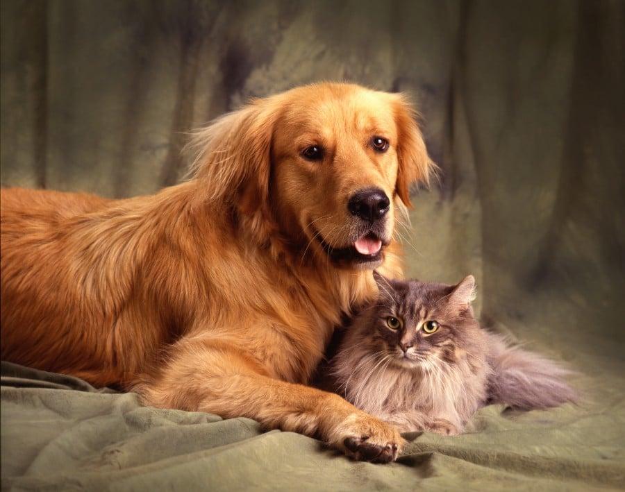 Golden Retriever and cat friend