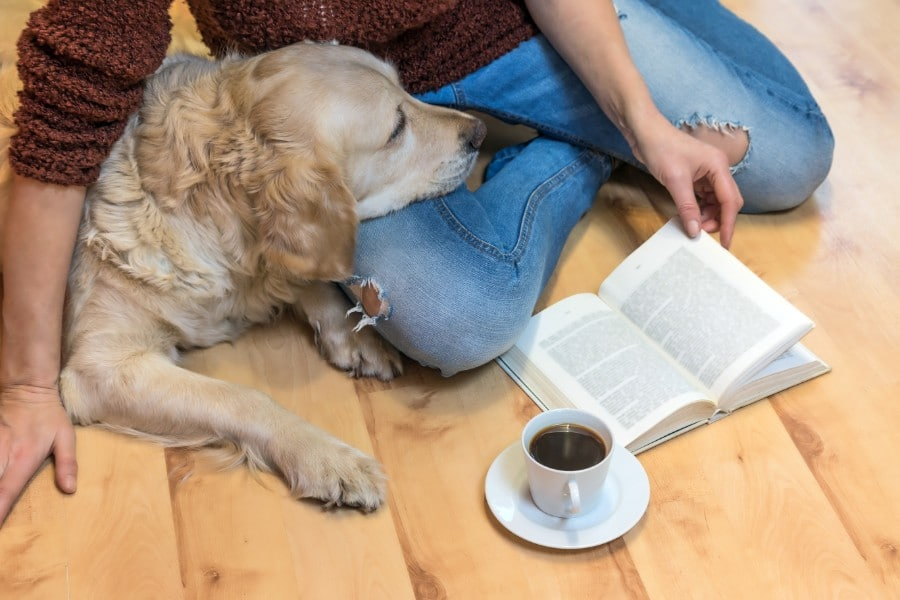 Golden Retriever studying