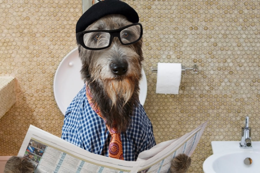 Irish Wolfhound reading newspaper on toilet