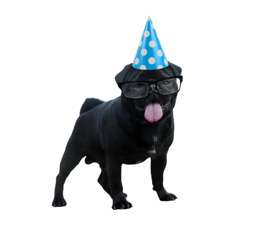 Pug the college party dog