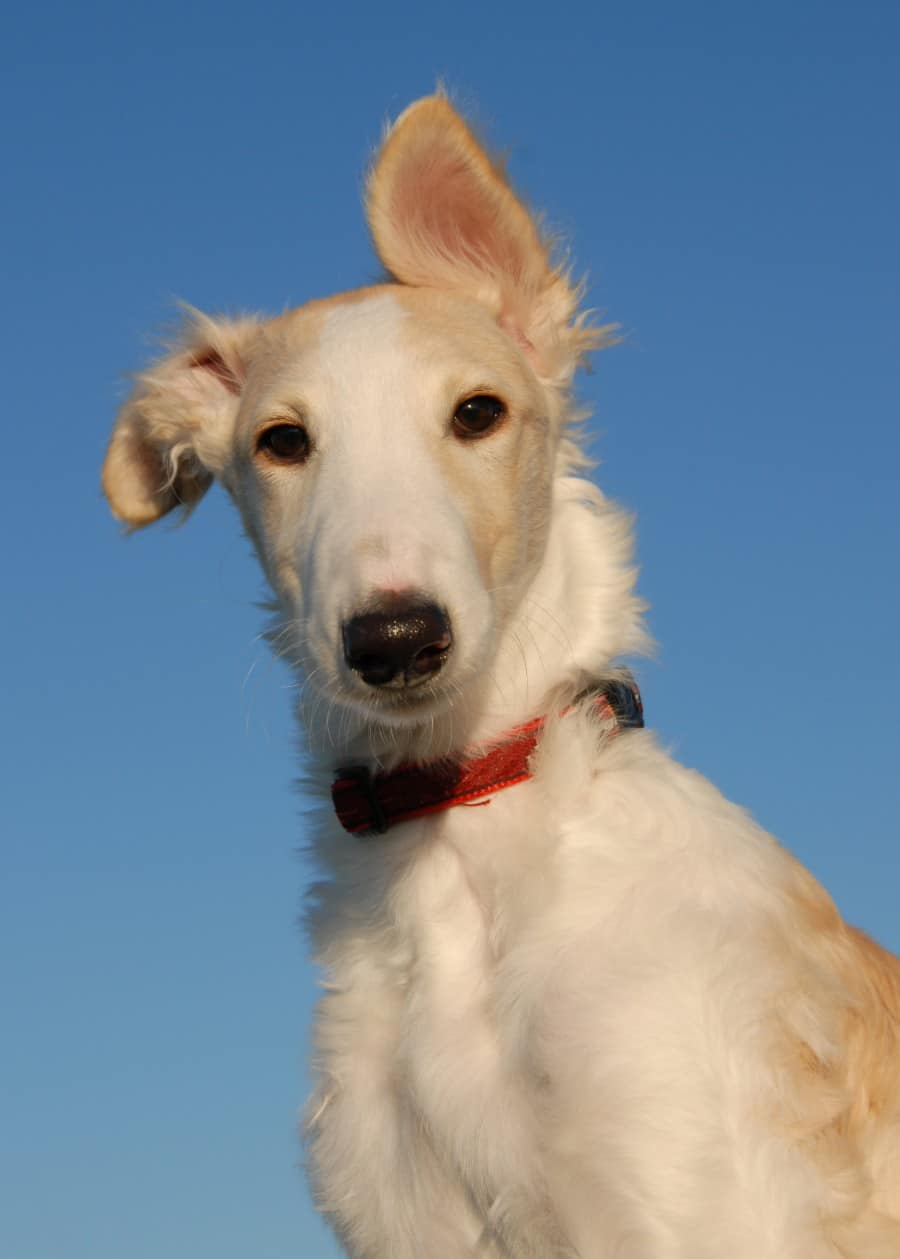 best dogs for college students - Borzoi