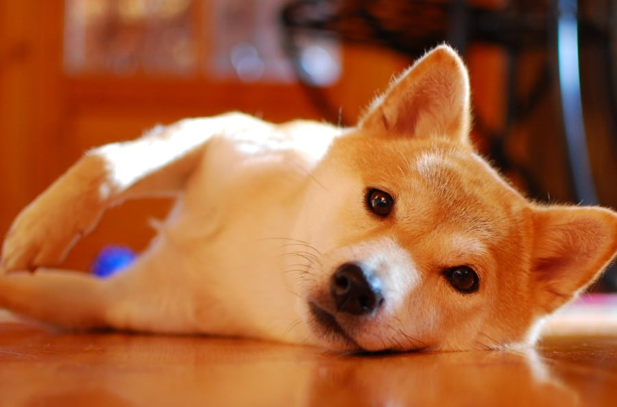 What's up, Shiba Inu?