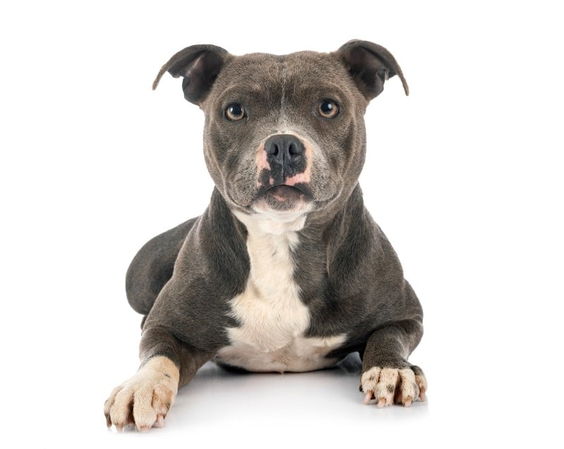 worst dog breeds for cats: Staffordshire Bull Terrier is our #1 pick