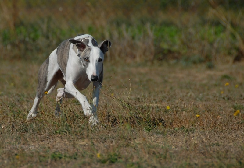 Whippet on the prowl for cats